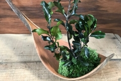 Coco pittosporum